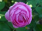 Перейти в раздел старинных морозостойких роз